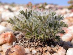 Pelargonium caroli-henrici B.Nord.