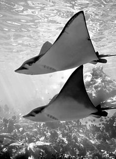 Sting Rays - I swam with them at Discovery Cove Sea World Orlando Fl. An amazing experience.