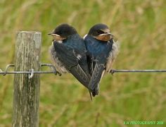 Two hearts that beat as one <3  Barn swallows  Photo by lovecatz on Flickr https://www.flickr.com/photos/lovecatz/2554001701/