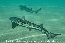 Shark Photographs California Pacific Coast Eastern Pacific Ocean - Professional Stock Photography - Golden State Images