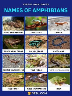 Amphibians Giant Salamander, Frog Species, Visual Dictionary, Poison Dart Frogs, Earthworms, Frog And Toad, Vertebrates, Tree Frogs