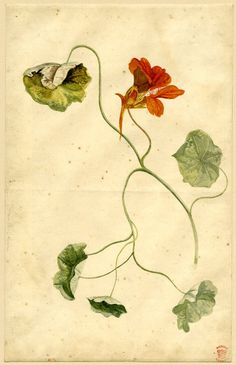 Jan van Huysum (Dutch, 1682-1749). Flower study; trailing foliage with an orange flower. Watercolour.