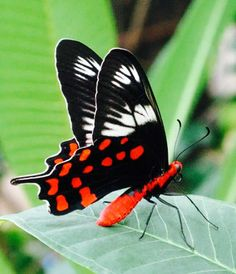 Black with red and white butterfly