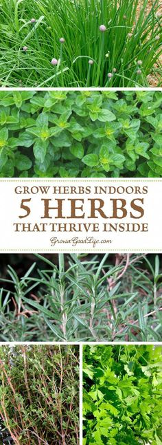 Growing an indoor herb garden during winter can be challenging. Some herbs do fine while others need more light and warmth than a kitchen windowsill provides. After experimenting over the years, these are my top five herbs that thrive inside all winter. Indoor Vegetable Gardening, Hydroponic Gardening, Organic Gardening, Container Gardening, Garden Plants, Indoor Plants, Indoor Herbs, Gardening Vegetables, Gardening Tips