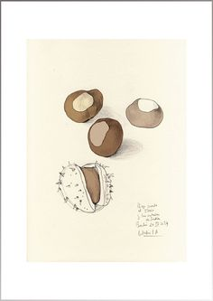 Brown Chestnuts, Autumn PRINT of my Original pencil drawing, digital color. Sizes up to 6 x 8 inches. Botanical still life by Catalina S.A