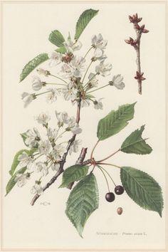 1960 Vintage Botanical Print Wild Cherry Prunus by Craftissimo