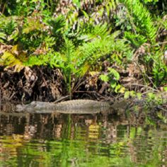 Reflections of an alligator- north branch st lucie North Branch, Spaces, Plants, Flora, Plant, Planting