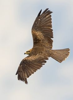 Black Kite -  Joerg Gerhards