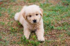 This Golden Retriever is such a cutie. There is something about golden puppies that are used to a lot of tv commercials.