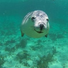 Swim with sea lions, Bairds Bay   40 Uniquely Australian Experiences To Add To Your Bucket List