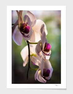 Discover «Orchid», Limited Edition Fine Art Print by Andrei Dragomirescu - From $29 - Curioos
