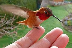 Some day maybe I can get a hummer to sit on my finger.