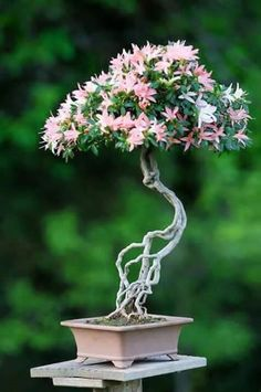 he word bonsai is most closely associated by most with the growing of miniature trees, and although this is somewhat accurate, there is a lot more to it than that. A bonsai is not a genetically overshadowed plant Flowering Bonsai Tree, Bonsai Plants, Bonsai Garden, Bonsai Trees, Bonsai Flowers, Ikebana, Decoration Plante, Tree Images, Miniature Trees