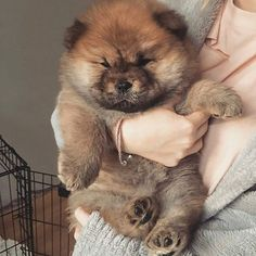 PHoTo : @daisythechowchow #animals #animal #pets #pet #dogsofinstagram #dog #puppy #instapuppy #puppies #woof #fluffy #paws #cachorro #perro #собака #щенок #baby #hound #teddybear #love #babyanimals #aşk #chowchow #zoo #chowchowpuppy #강아지 #犬 #개 _____________________________ ADMiN : @SePeHR.HaNiFi ADMiN 2 : @DeLViN_CHoW TaG YouR FRieNDs :