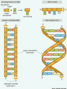 Here is a diagram of DNA which is much easier to understand than ...