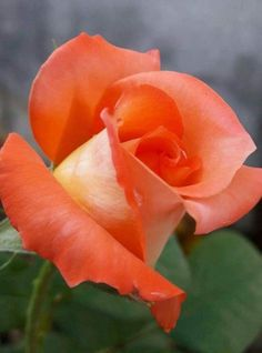 Tips on growing healthy rose flowers
