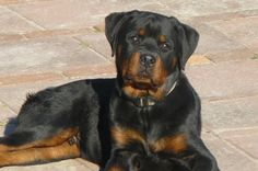 Rottweiler | Things You Should Know Before Getting a Rottweiler