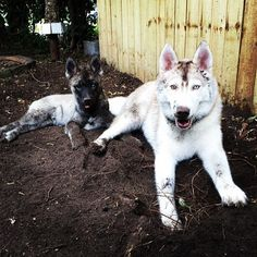 ~ I'VE NEVER HAD A HUSKY THAT LIKED GETTING OR BEING DIRTY & THEY DON'T SMALL LIKE A DOG ~