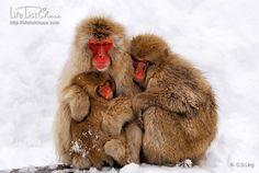 Snow Monkey family by Life List Chase, via Orangutans, Chimpanzee, Slow Loris, Snow Monkey, Life List, Baboon, Little Monkeys, Lemur, Primates