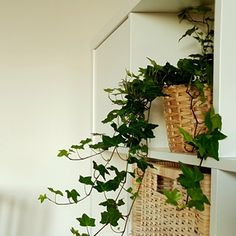 Owning an english ivy (hedera helix) is like getting a valentine every time you look at it: the plant produces multitudes of heart-shape leaves that come in Invasive Plants, Dry Plants, Growing Plants, Ivy Plant Indoor, Indoor Planters, Indoor Gardening, Container Gardening, Mason Jar Planter, Mason Jars