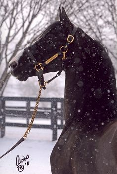 Saddlebred horse outside on a snowy day. Horses In Snow, Black Horses, Most Beautiful Animals, Beautiful Horses, Shetland, Winter Horse, Morgan Horse, American Saddlebred, Majestic Horse