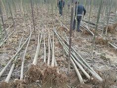 Source paotong Paulownai Seedling Hybrid 9501 paulownia root cutting on m.alibaba.com