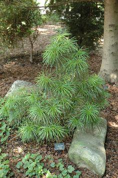 Find Mitsch Dwarf Umbrella Pine (Sciadopitys verticillata 'Mitsch Select') in Raleigh Wake Forest Morrisville Durham Cary North Carolina NC at Atlantic Avenue Orchid & Garden (Japanese Umbrella Pine, Koyamaki)