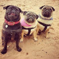 pugsofinstagram:  Flash, Lola and Tank at the beach! (pugs_pugs_pugs)