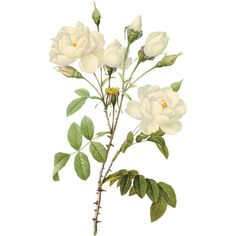 White rose PNG image, flower white rose PNG picture ❤ liked on Polyvore featuring flowers