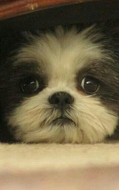 Little precious Shi Tzu face: