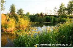 Looking for a natural swimming pool in your garden - The Swimming Pond Company