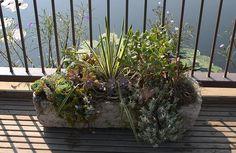 Succulents in a hypertufa trough on the Island Garden.