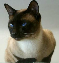 Traditional Siamese Cat, Seal Point. My sister had one as a child named Choux Choux