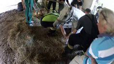 Il trouve sa jument coincée dans un trou et essai de sauver l'animal. - http://www.newstube.fr/trouve-jument-coincee-trou-de-sauver-lanimal/ #Jument, #VidéoAnimal, #VidéoJument