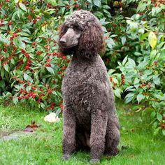 Standard Poodle: The largest of the poodle family, the standard poodle was originally used as a water retriever in Germany. It has a soft, water-resistant coat that is often clipped into different styles or cuts. These cuts
