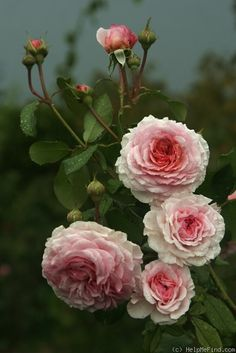 "Rose "" James Galway "" , (AUScrystal) , bred by David C. H. Austin (United Kingdom, 2000)"