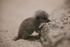 Just a Few Interesting Things I Learned About Meerkat Pups Meerkats, like cats and dogs, give birth in litters. A typical meerkat litter consists of three pups, but they can have as many as five. Baby Meerkat, Animals Are Beautiful People, Cat Vs Dog, Cat Stands, Yellow Cat, Take A Nap, Sloth, Kitten, Creatures