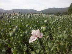 Enquête. Espagne: le marché très secret de l'opium légal | Courrier international