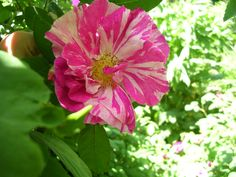 'Rosa Mundi', a gallica rose from the 10th or 12th century.  A once blooming rose in early June.  Beautiful fragrance.  Full sun.  Though it will take a bit of shade.