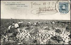 Siega del arroz, 1907
