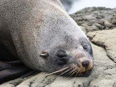 Ist da jemand müde? Bei eurer Reise nach Neuseeland könnt ihr Robben in freier Natur sehen. #Robbe #Neuseeland #erlebeFernreisen