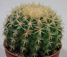 Echinocactus grussoni intermedius Cactus Gallery