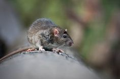 Is there a chance you might have rats hiding in your walls? We've got the signs to look for on today's blog.