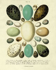 Antique Bird Eggs art Print vintage Nature by VictorianWallArt