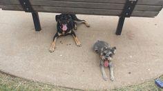 #bestfriends #pepe&roxy #schnoodle #germanshepardmix #doggylove