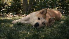"""Perro de """"Siempre a tu lado Hachiko"""""""