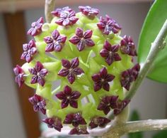 Purple Hoya Plant..I can think of worse things to be addicted to....