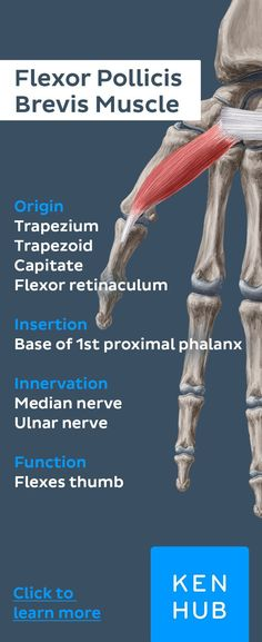 #muscle facts about the flexor pollicis brevis muscle. Re-pin and master #anatomy in no time!
