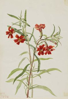 """""""Red Monkeyflower (Diplaucus puniceus)"""", 1920, Mary Vaux Walcott, watercolor on paper, sheet: 9 7/8 x 7 in. (25.2 x 17.7 cm), Smithsonian American Art Museum, Gift of the artist, 1970.355.652"""