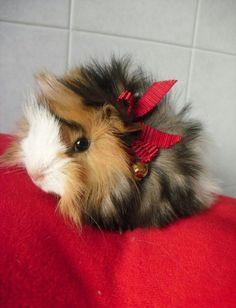 Image via We Heart It https://weheartit.com/entry/148878511 #christmas #cute #guineapig #redribbon